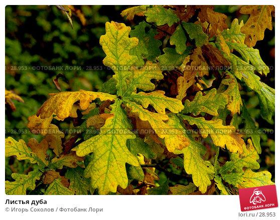 Листья дуба, фото № 28953, снято 30 сентября 2005 г. (c) Игорь Соколов / Фотобанк Лори