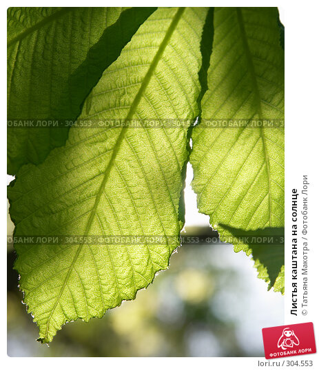 Листья каштана на солнце, фото № 304553, снято 29 апреля 2008 г. (c) Татьяна Макотра / Фотобанк Лори