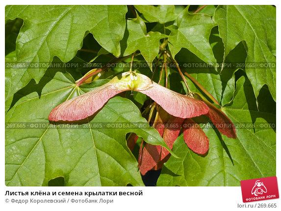 Купить «Листья клёна и семена крылатки весной», фото № 269665, снято 1 мая 2008 г. (c) Федор Королевский / Фотобанк Лори