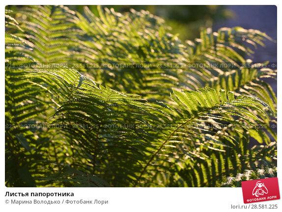Купить «Листья папоротника», фото № 28581225, снято 9 июня 2018 г. (c) Марина Володько / Фотобанк Лори