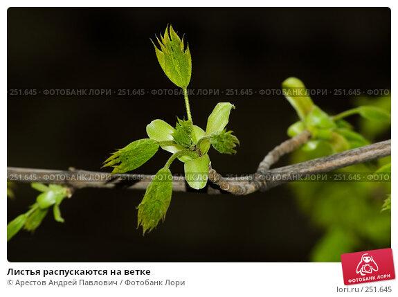 Листья распускаются на ветке, фото № 251645, снято 11 апреля 2008 г. (c) Арестов Андрей Павлович / Фотобанк Лори