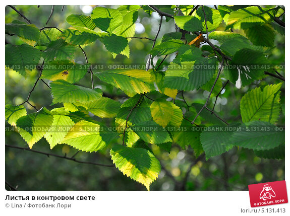 Листья в контровом свете. Стоковое фото, фотограф Lina / Фотобанк Лори
