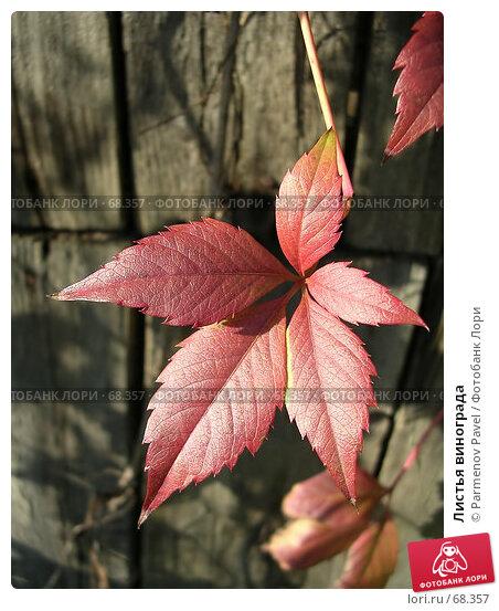 Купить «Листья винограда», фото № 68357, снято 20 сентября 2006 г. (c) Parmenov Pavel / Фотобанк Лори