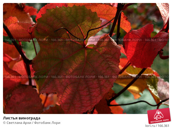 Листья винограда, фото № 166361, снято 7 октября 2006 г. (c) Светлана Архи / Фотобанк Лори