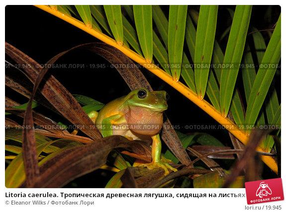 Купить «Litoria caerulea. Тропическая древесная лягушка, сидящая на листьях пальмы», фото № 19945, снято 3 февраля 2007 г. (c) Eleanor Wilks / Фотобанк Лори