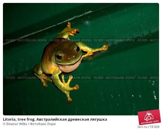 Litoria, tree frog. Австралийская древесная лягушка, фото № 19929, снято 3 февраля 2007 г. (c) Eleanor Wilks / Фотобанк Лори