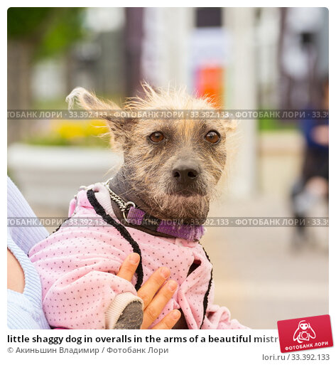 Купить «little shaggy dog in overalls in the arms of a beautiful mistress», фото № 33392133, снято 18 мая 2019 г. (c) Акиньшин Владимир / Фотобанк Лори