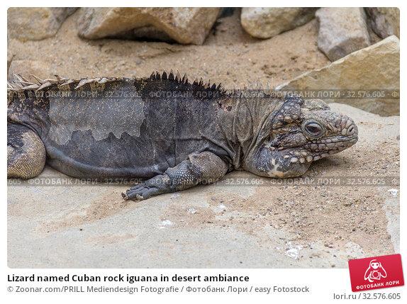 Lizard named Cuban rock iguana in desert ambiance. Стоковое фото, фотограф Zoonar.com/PRILL Mediendesign Fotografie / easy Fotostock / Фотобанк Лори