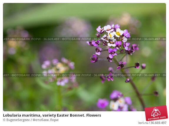 Lobularia maritima, variety Easter Bonnet. Flowers. Стоковое фото, фотограф EugeneSergeev / Фотобанк Лори