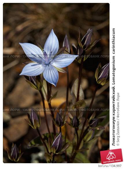 Купить «Ломатогониум каринтийский. Lomatogonium  carinthiacum», фото № 134997, снято 14 августа 2006 г. (c) Serg Zastavkin / Фотобанк Лори
