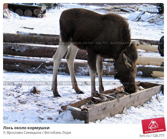 Лось около кормушки, фото № 128777, снято 6 марта 2004 г. (c) Ярослава Синицына / Фотобанк Лори