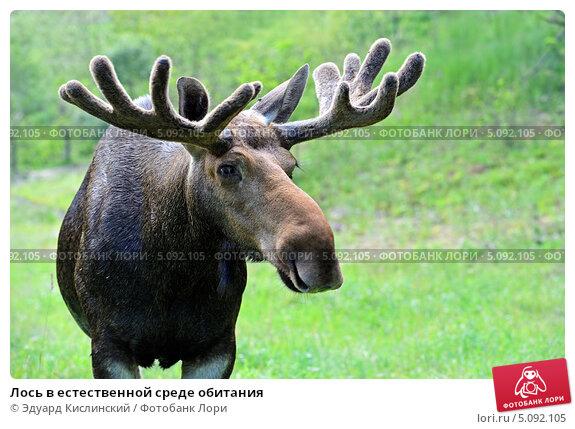 Купить «Лось в естественной среде обитания», фото № 5092105, снято 11 июля 2010 г. (c) Эдуард Кислинский / Фотобанк Лори