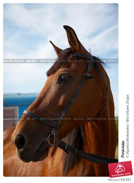 Лошадь, эксклюзивное фото № 64921, снято 17 июня 2007 г. (c) Ирина Мойсеева / Фотобанк Лори