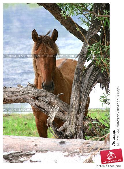 Лошадь. Стоковое фото, фотограф Евгений Гультяев / Фотобанк Лори