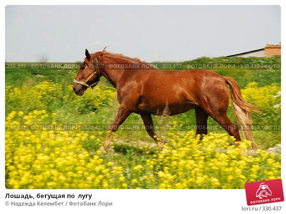 Лошадь, бегущая по  лугу, фото № 330437, снято 12 июня 2008 г. (c) Надежда Келембет / Фотобанк Лори