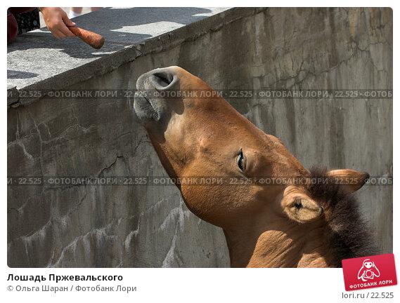 Купить «Лошадь Пржевальского», фото № 22525, снято 25 июля 2006 г. (c) Ольга Шаран / Фотобанк Лори