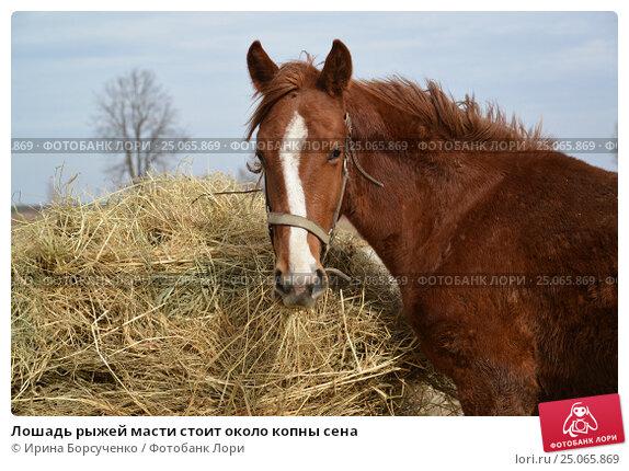 Купить «Лошадь рыжей масти стоит около копны сена», фото № 25065869, снято 3 апреля 2016 г. (c) Ирина Борсученко / Фотобанк Лори
