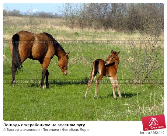 Купить «Лошадь с жеребенком на зеленом лугу», фото № 262149, снято 27 апреля 2005 г. (c) Виктор Филиппович Погонцев / Фотобанк Лори