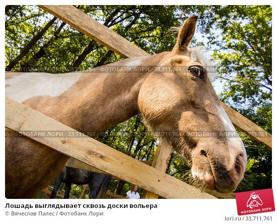 Купить «Лошадь выглядывает сквозь доски вольера», фото № 33711761, снято 5 сентября 2019 г. (c) Вячеслав Палес / Фотобанк Лори