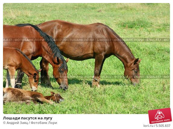 Лошади пасутся на лугу. Стоковое фото, фотограф Андрей Заяц / Фотобанк Лори