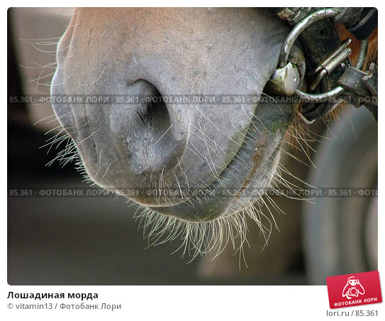 Лошадиная морда, фото № 85361, снято 17 августа 2006 г. (c) vitamin13 / Фотобанк Лори