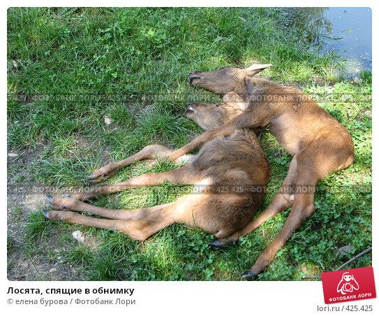 Купить «Лосята, спящие в обнимку», фото № 425425, снято 2 июня 2008 г. (c) елена бурова / Фотобанк Лори