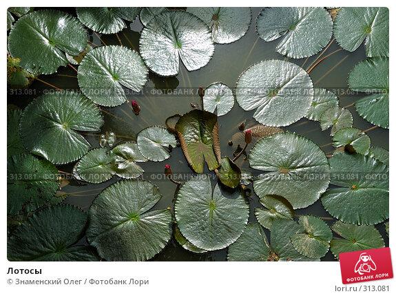 Купить «Лотосы», эксклюзивное фото № 313081, снято 15 августа 2007 г. (c) Знаменский Олег / Фотобанк Лори