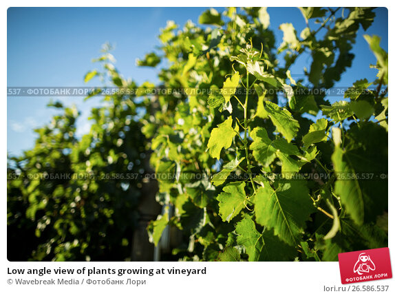 Купить «Low angle view of plants growing at vineyard», фото № 26586537, снято 31 января 2017 г. (c) Wavebreak Media / Фотобанк Лори
