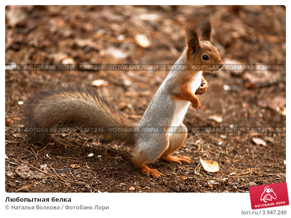 Купить «Любопытная белка», фото № 3947249, снято 20 октября 2012 г. (c) Наталья Волкова / Фотобанк Лори