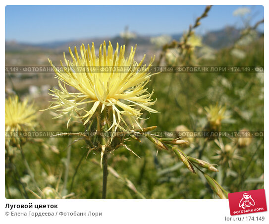 Купить «Луговой цветок», фото № 174149, снято 22 июля 2006 г. (c) Елена Гордеева / Фотобанк Лори