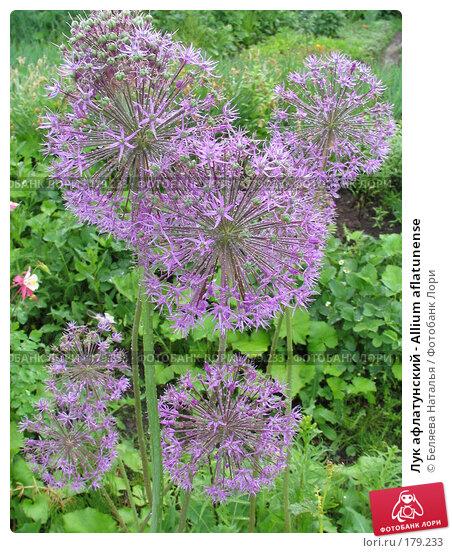 Лук афлатунский - Allium aflatunense, фото № 179233, снято 24 июня 2006 г. (c) Беляева Наталья / Фотобанк Лори