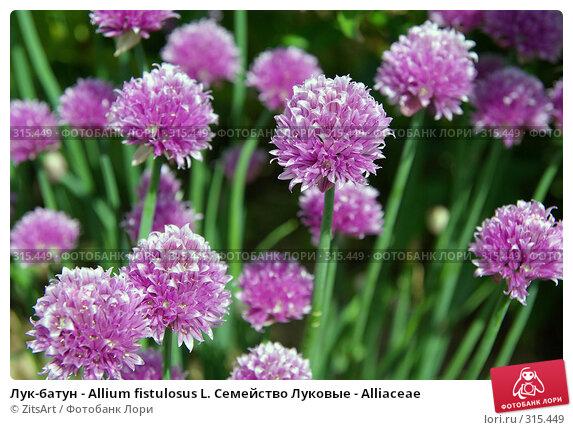 Лук-батун - Allium fistulosus L. Семейство Луковые - Alliaceae, фото № 315449, снято 8 июня 2008 г. (c) ZitsArt / Фотобанк Лори