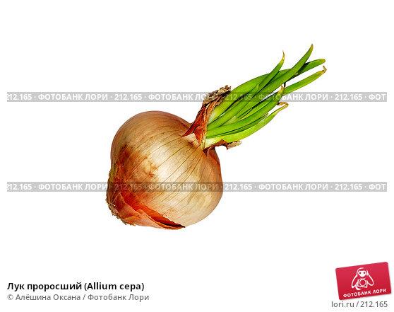 Лук проросший (Allium cepa), эксклюзивное фото № 212165, снято 5 февраля 2008 г. (c) Алёшина Оксана / Фотобанк Лори