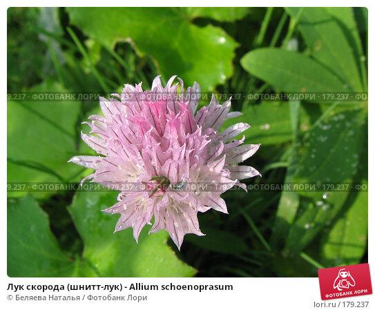 Лук скорода (шнитт-лук) - Allium schoenoprasum, фото № 179237, снято 24 июня 2006 г. (c) Беляева Наталья / Фотобанк Лори