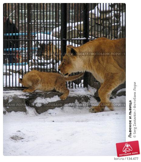 Львенок и львица, фото № 134477, снято 7 ноября 2004 г. (c) Serg Zastavkin / Фотобанк Лори