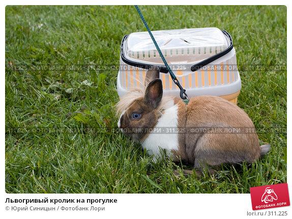 Львогривый кролик на прогулке, фото № 311225, снято 31 мая 2008 г. (c) Юрий Синицын / Фотобанк Лори