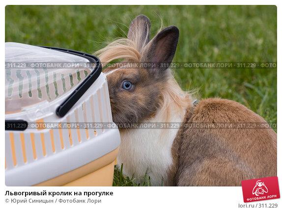 Львогривый кролик на прогулке, фото № 311229, снято 31 мая 2008 г. (c) Юрий Синицын / Фотобанк Лори