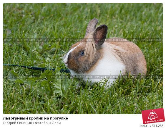 Купить «Львогривый кролик на прогулке», фото № 311233, снято 31 мая 2008 г. (c) Юрий Синицын / Фотобанк Лори