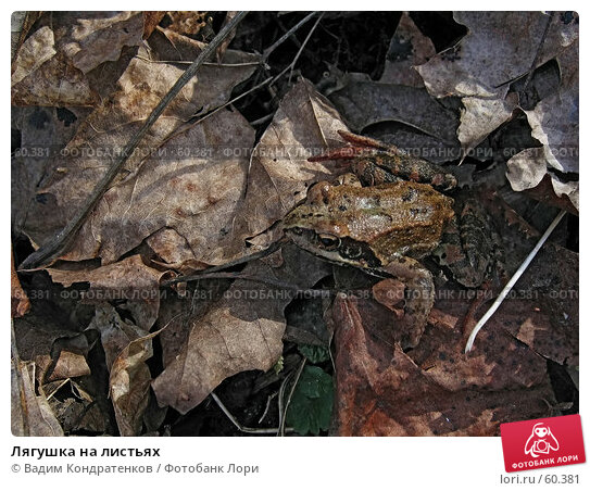 Лягушка на листьях, фото № 60381, снято 8 декабря 2016 г. (c) Вадим Кондратенков / Фотобанк Лори