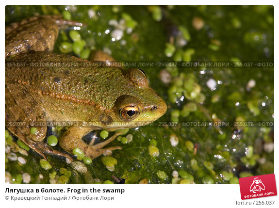 Лягушка в болоте. Frog in the swamp, фото № 255037, снято 23 октября 2016 г. (c) Кравецкий Геннадий / Фотобанк Лори