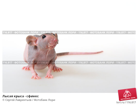 Лысая крыса - сфинкс, фото № 116817, снято 23 сентября 2007 г. (c) Сергей Лаврентьев / Фотобанк Лори