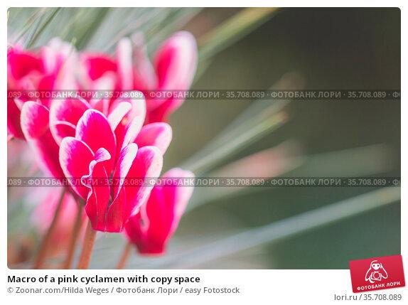 Macro of a pink cyclamen with copy space. Стоковое фото, фотограф Zoonar.com/Hilda Weges / easy Fotostock / Фотобанк Лори