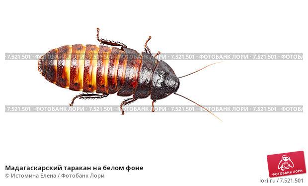Мадагаскарский таракан на белом фоне, фото № 7521501, снято 28 марта 2013 г. (c) Истомина Елена / Фотобанк Лори