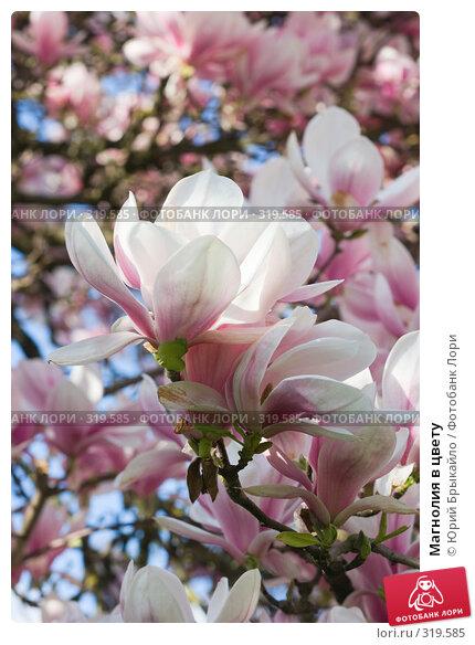 Магнолия в цвету, фото № 319585, снято 26 апреля 2008 г. (c) Юрий Брыкайло / Фотобанк Лори