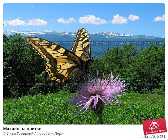 Махаон на цветке, фото № 210761, снято 8 июня 2005 г. (c) Илья Троицкий / Фотобанк Лори