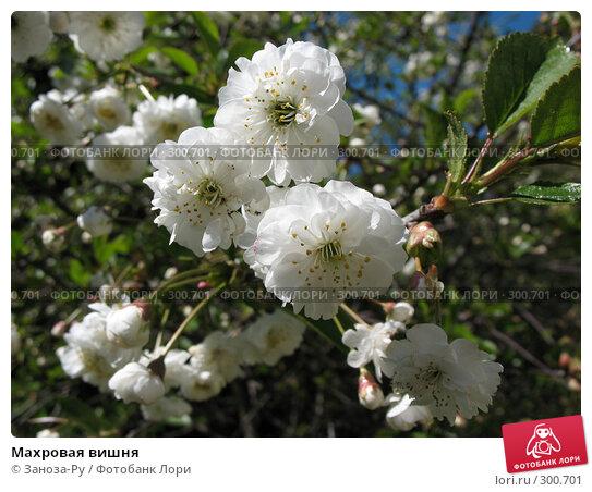 Купить «Махровая вишня», фото № 300701, снято 24 мая 2008 г. (c) Заноза-Ру / Фотобанк Лори