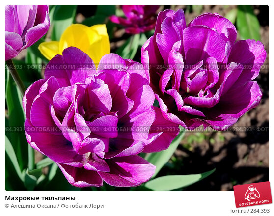 Махровые тюльпаны, эксклюзивное фото № 284393, снято 12 мая 2008 г. (c) Алёшина Оксана / Фотобанк Лори