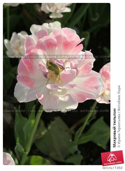 Махровый тюльпан, эксклюзивное фото № 7653, снято 1 июня 2006 г. (c) Ирина Терентьева / Фотобанк Лори