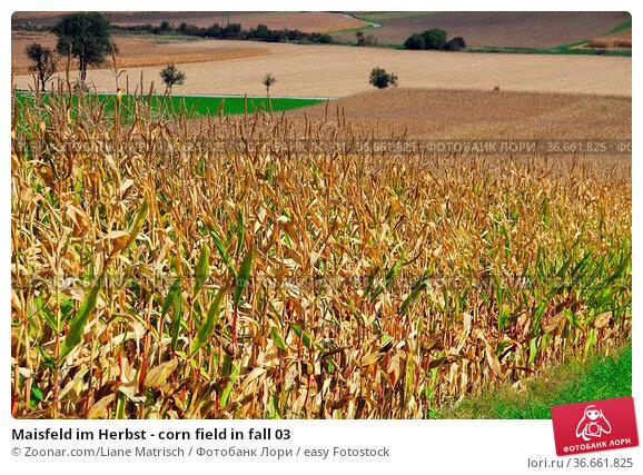 Maisfeld im Herbst - corn field in fall 03. Стоковое фото, фотограф Zoonar.com/Liane Matrisch / easy Fotostock / Фотобанк Лори