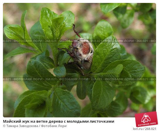Майский жук на ветке дерева с молодыми листочками, эксклюзивное фото № 268021, снято 19 мая 2007 г. (c) Тамара Заводскова / Фотобанк Лори